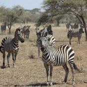 Serengeti Safari-44