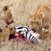 Serengeti Safari-1