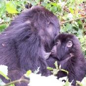 Gorilla-Trekking-7