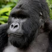 Gorilla-Trekking-10