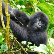 Gorilla-Trekking-3