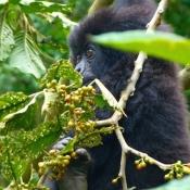 Gorilla-Trekking-5