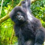 Gorilla-Trekking-6