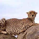 Cheetah on kopje in Serengeti