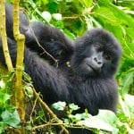 Gorilla-Trekking-Rwanda-1