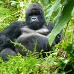Gorilla-Trekking-Rwanda-2