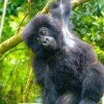 Gorilla-Trekking-Rwanda-4