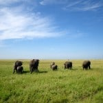 Elephants-in-Serengeti-National-Park