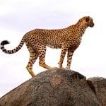 Cheetah-on-kopje