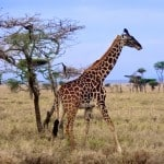 Giraffe-in-Serengeti-National-Park