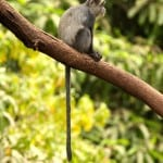 Blue-Monkey-at-Arusha-National-Park