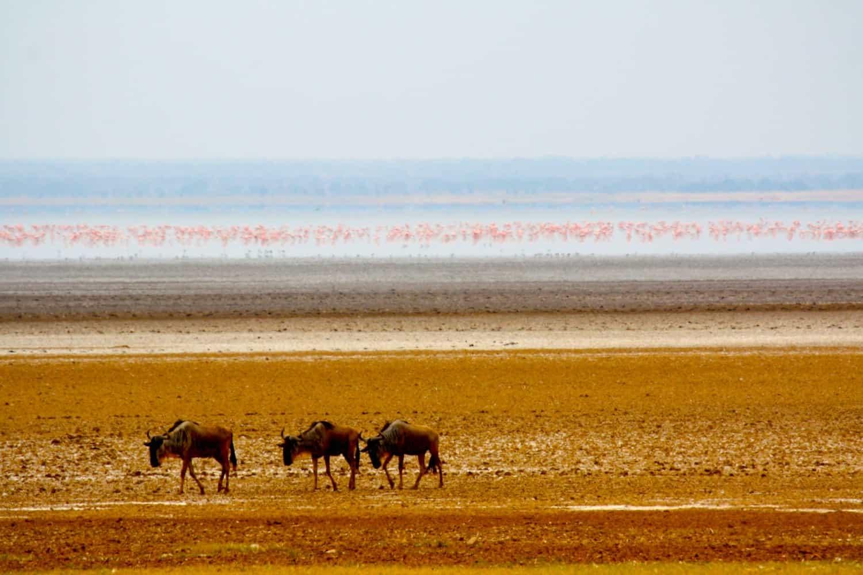 Wildebeest-in-Lake-Manyara-National-Park
