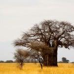 Tarangire Baobab Tree