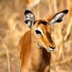 Thomson-Gazelle-in-Serengeti