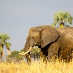 Elephant-in-Tarangire-National-Park