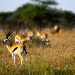 Thomson-Gazelles-in-Serengeti