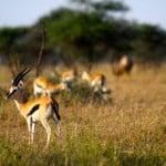 Thomson-Gazelles-in-Serengeti