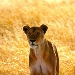 Lioness-in-Serengeti-1