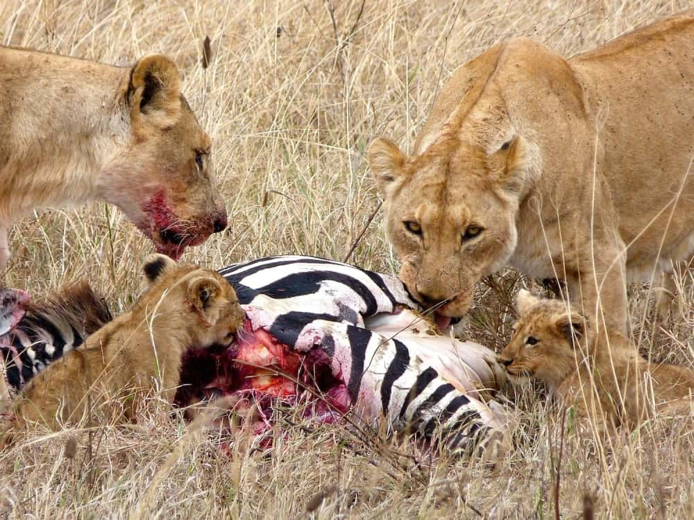 Lions-hunting
