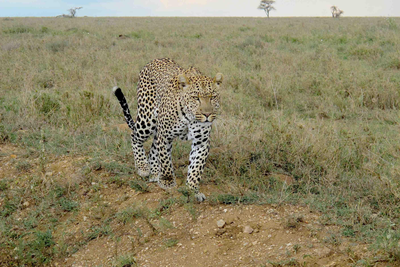 Afrikanischer Leopard