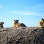 Lions-On-Kopje