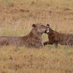 Lioness with cub in Ngorongoro Crater