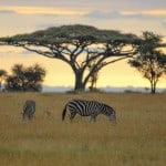 Zebras-in-Serengeti-National-Park