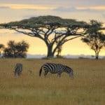 Zebras-in-Serengeti-National-Park