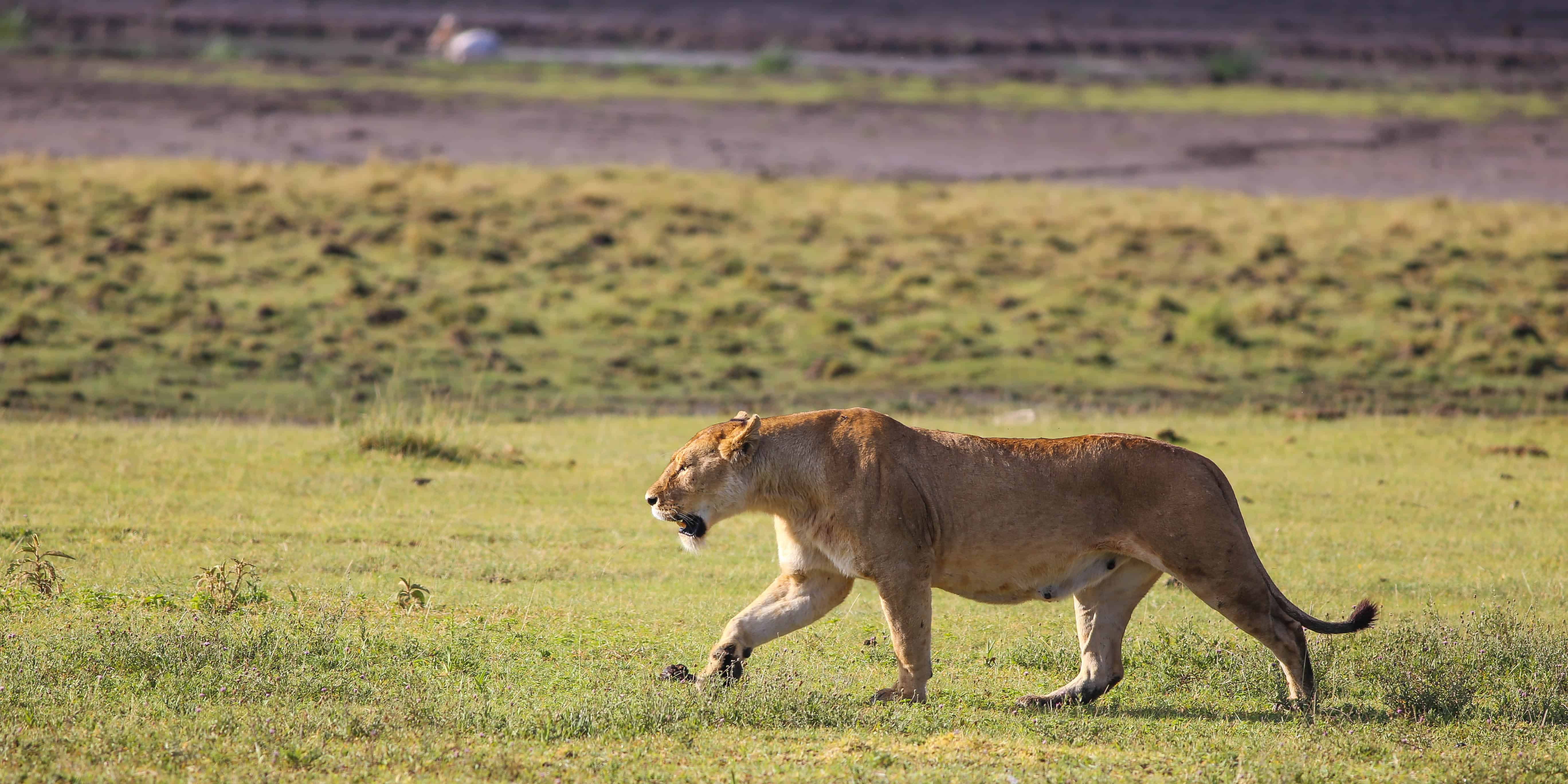 Lioness-on-a-hunt-2