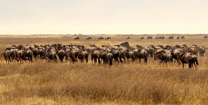 Große Tierwanderung