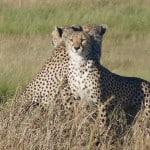 Cheetahs-in-Serengeti