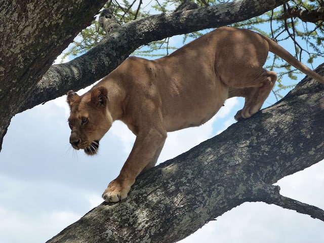 Tree climbing lion in Serengeti