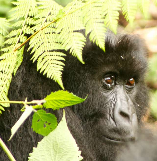 Travel-Tips-Africa-Gorillas