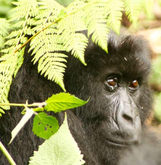 Tipps Afrika-Reise Gorilla Trekking